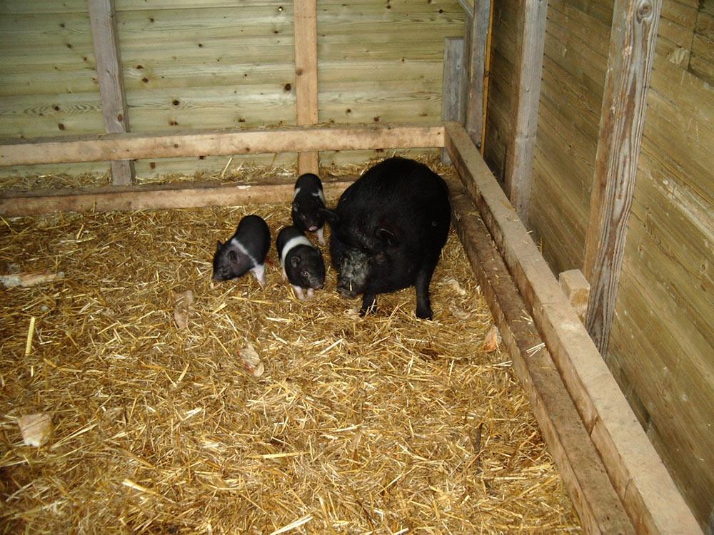 camping avec parc animalier cochon