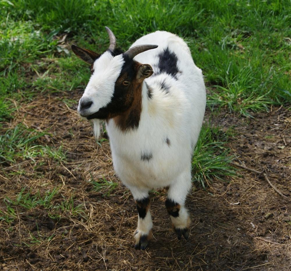 Parc animalier au sein du camping avec chèvres