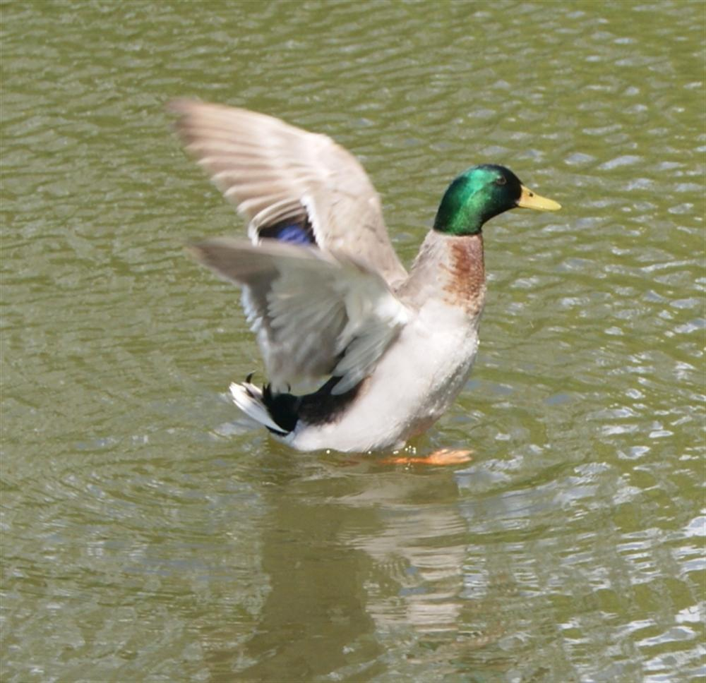Canard dans l'étang
